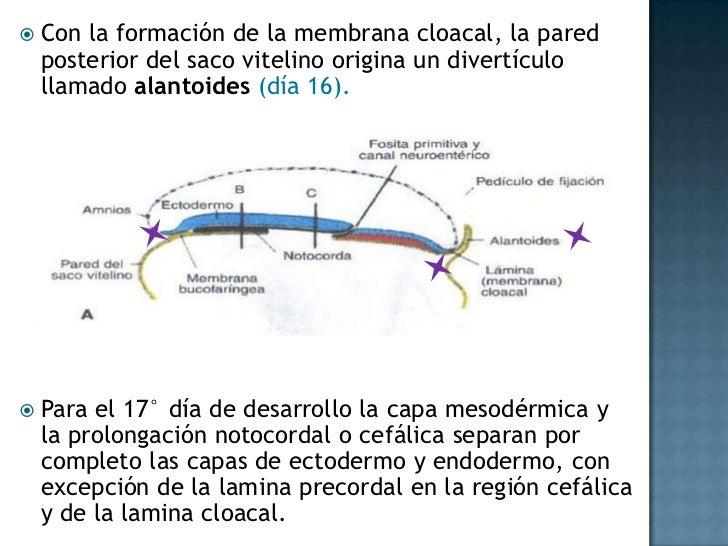 En dirección cefálica pasan a cada lado de la placa precordal , esta placa se forma en el extremo de la notocorda y la mem...