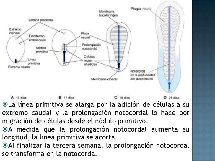 Día 18<br /><ul><li>El suelo de la prolongación notocordal o cefálica se fusiona  con el endodermo, en esta zona las dos c...