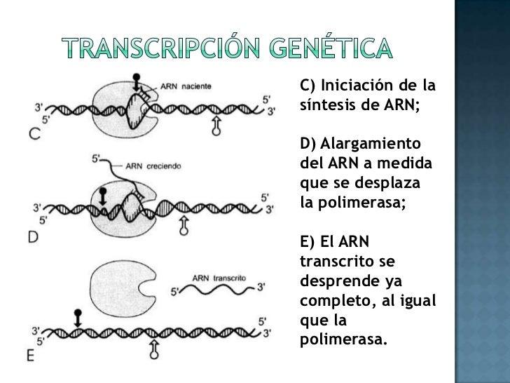 Transcripción genética<br />C) Iniciación de la síntesis de ARN;<br />D) Alargamiento del ARN a medida que se desplaza la ...