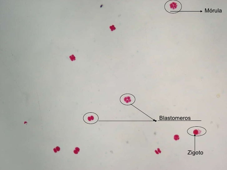 Mórula Blastomeros Zigoto