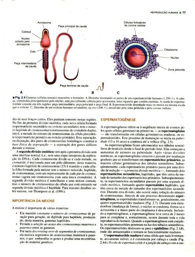 Acrossoma Peqa principal da cauda          REPFIODUCAO HUMANA u 11  Celulas folioularos da corona radian         Cabaea Nu...