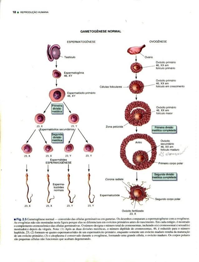 18 I nsvnoouclo HUMANA  23. X  I Fig.  2.5 Gamcmgenesc normal — conversfio das células gcrminalivas cm gamctas.  Os dcscnho...