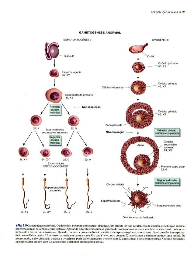 FIEPFIOOUCAO HUMANA o 21  emeroeeuese ANORMAL  ESPERMATOGENESE OVOGENESE  TOBUCUIO  ' Ovarlo Espermatogonia *1 45, xv l l ...