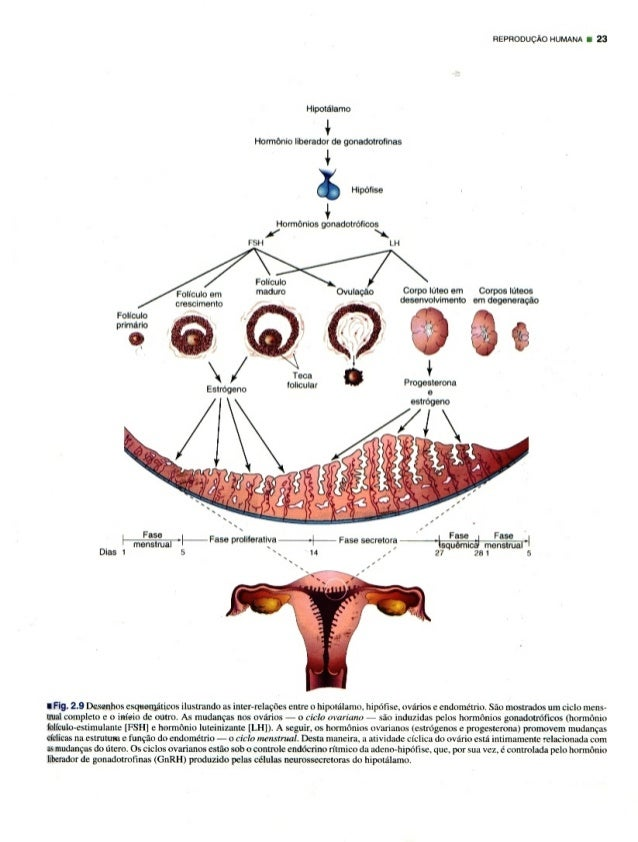 nepnooucixo HUMANA 23  Hipotélamo  ¢  Homlonio Iiborador de gonadotrolmas  4  % Hipéllse  Hormonios gonadotroflcos /   FSH ...