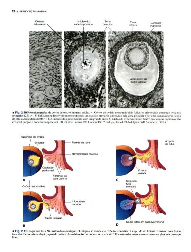 24 REPRODUC/ 'K0 HUMANA  Células Nucleo do lolnculares ovdcvto pnmzlno      Antro cheia de fluido lolrcular   T C .  , r . ...