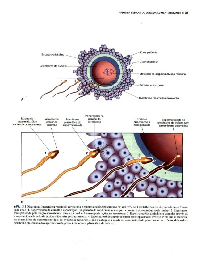 PRIMEIRA SEMANA DO DESENVOLVIMENTO HUMMD I 33         Zona polucido Espaco penvitellno   Corona radiate Citoplasma do ovoc...