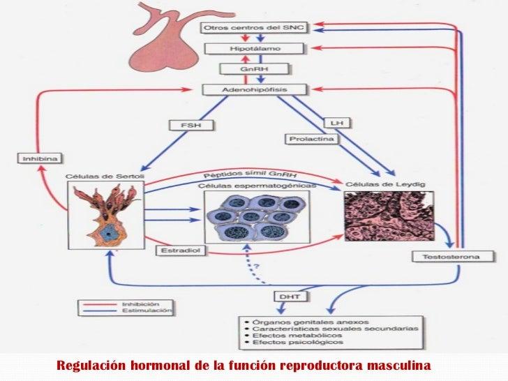 Armario Indoor Bogota ~ Embriologia clase1