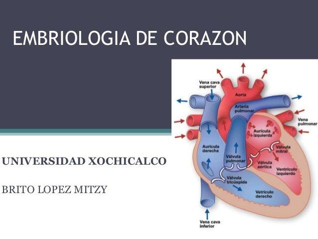 EMBRIOLOGIA DE CORAZON UNIVERSIDAD XOCHICALCO BRITO LOPEZ MITZY