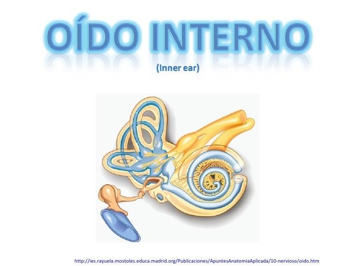 Embriologia del sistema auditivo Slide 3