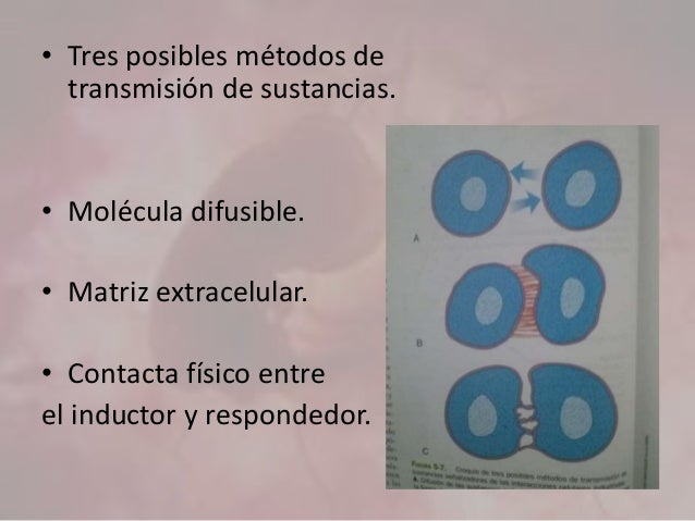 • Tres posibles métodos de transmisión de sustancias. • Molécula difusible. • Matriz extracelular. • Contacta físico entre...