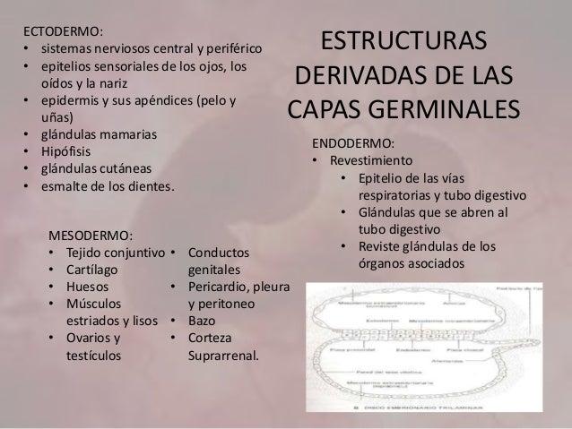 ESTRUCTURAS DERIVADAS DE LAS CAPAS GERMINALES MESODERMO: • Tejido conjuntivo • Cartílago • Huesos • Músculos estriados y l...