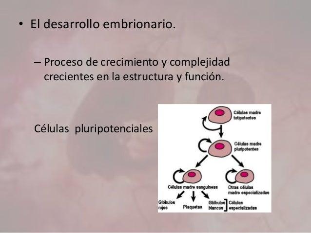 • El desarrollo embrionario. – Proceso de crecimiento y complejidad crecientes en la estructura y función. Células pluripo...