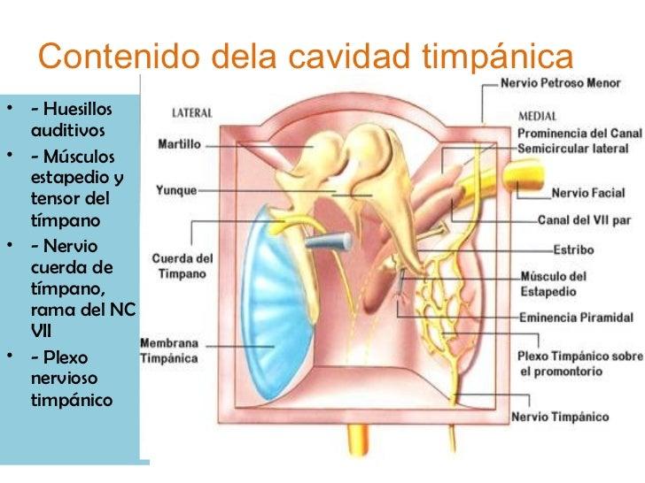 Embrio y anatomia de oido 2