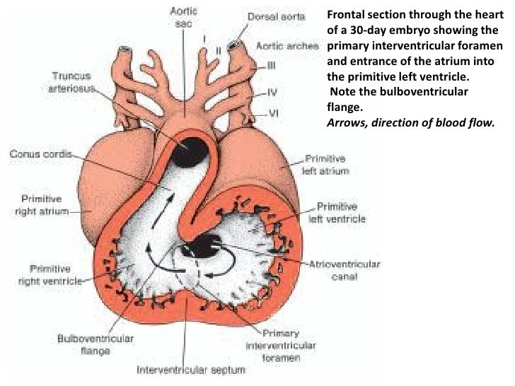top keywords | picture for conus arteriosus, Human Body