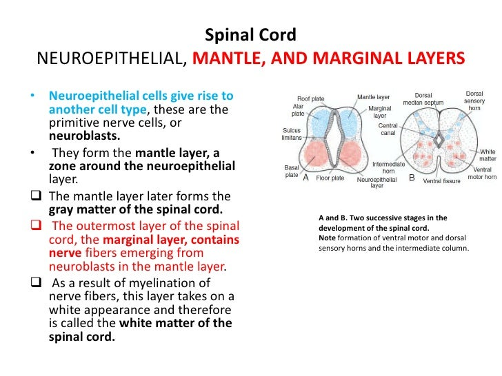 Central Nervous System<br /><ul><li>The cephalic end of the neural tube shows three dilations, the primary brain vesicles:...