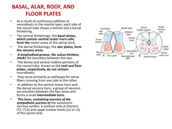 Central Nervous System<br /><ul><li>A deep furrow, the rhombencephalic isthmus, separates the mesencephalon from the rhomb...