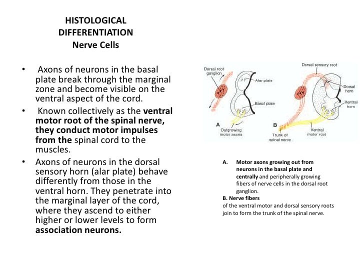 The lumen of the spinal cord, the central canal, is continuous with that of the brain vesicles.
