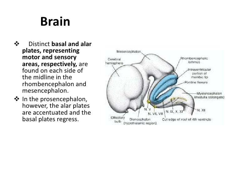 Neural Crest Cells<br />During elevation of the neural plate, a group of cells appears along each edge (the crest) of the ...