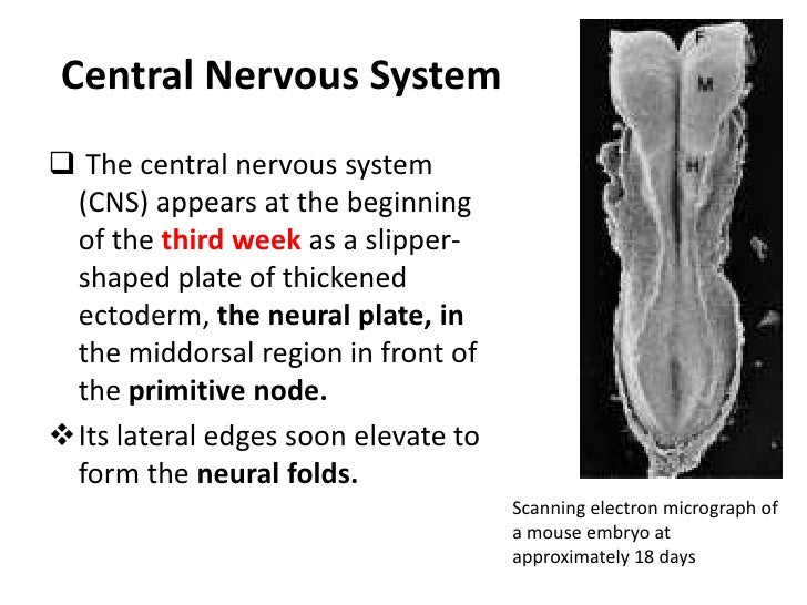 Central Nervous System<br /><ul><li> The central nervous system (CNS) appears at the beginning of the third week as a slip...