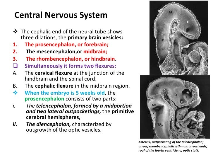Closure of the cranial neuroporeproceeds cranially from the initial closure site in the cervical region and from a site in...