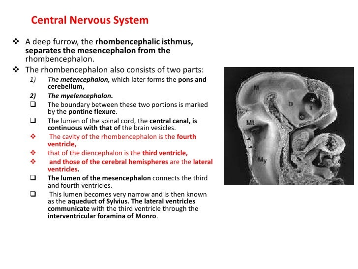 Thislater site proceeds cranially, to close the rostralmost region of the neural tube, and caudally to meet advancing clos...