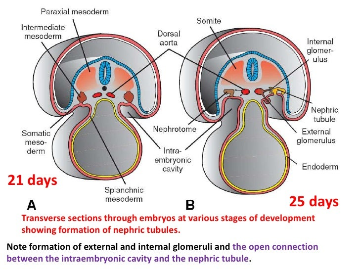 the excretory system 2018-5-28 excretion is one of the most basic  the skin and lungs also have excretory  mucociliary excretion is the excretion of mucus in the respiratory system.