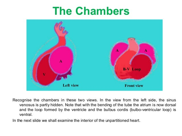 embryology of heart 3 week 5 schedule: cardiovascular and endocrine systems  25 gross anatomy lectures: embryology of the heart: normal and.