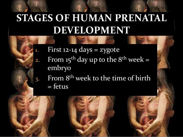 STAGES OF HUMAN PRENATAL DEVELOPMENT 1 2