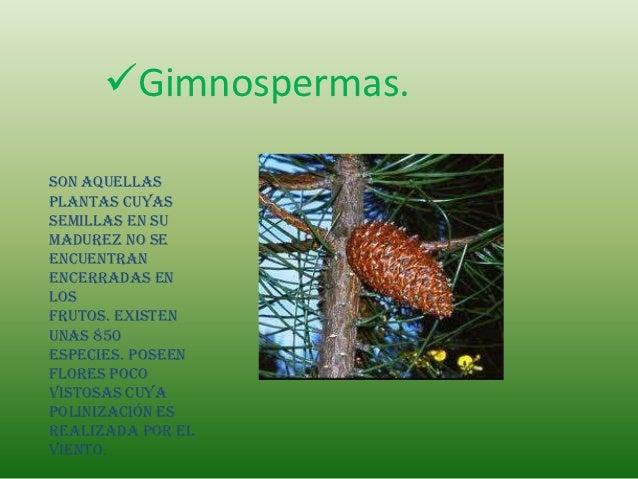 Gimnospermas.Son aquellasplantas cuyassemillas en sumadurez no seencuentranencerradas enlosfrutos. Existenunas 850especie...