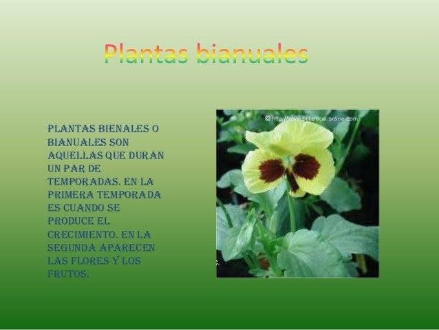 Plantas bienales obianuales sonaquellas que duranun par detemporadas. En laprimera temporadaes cuando seproduce elcrecimie...