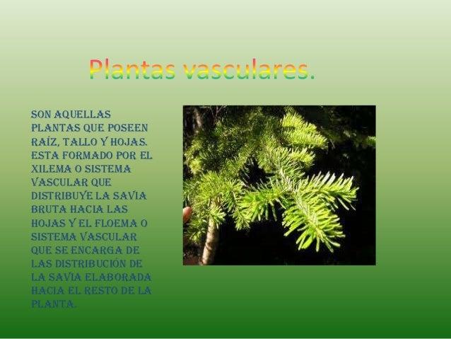 Son aquellasplantas que poseenraíz, tallo y hojas.Esta formado por elxilema o sistemavascular quedistribuye la saviabruta ...
