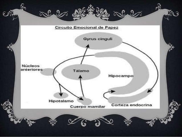 Circuito De Papez : Emociones y circuitos de papez