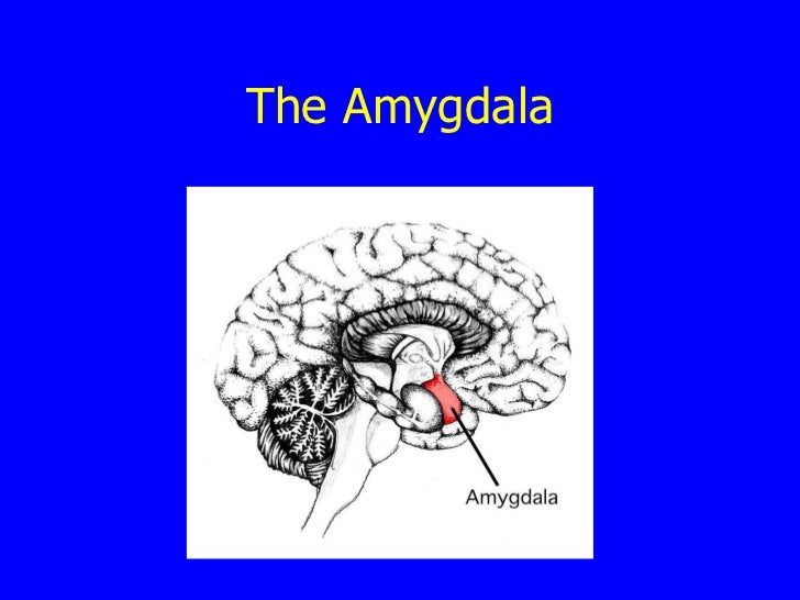 The Amygdala