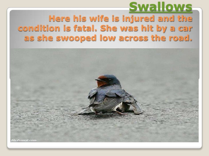 SwallowsHere his wife is injured and the condition is fatal. She was hit by a car as she swooped low across the road. <br />
