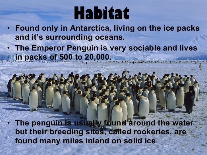 Brittany Alexander. Period 6. Emperor penguin