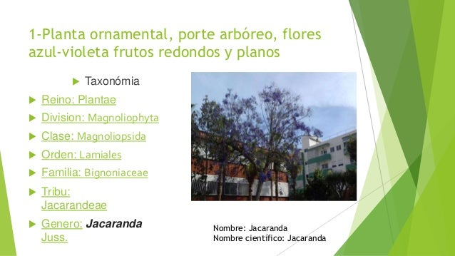 En busca del tesoro for Planta ornamental jacaranda