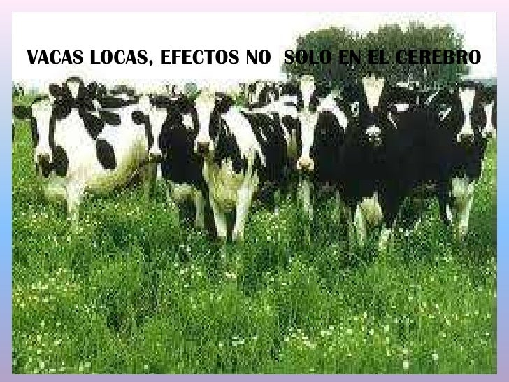 VACAS LOCAS, EFECTOS NO  SOLO EN EL CEREBRO <br />