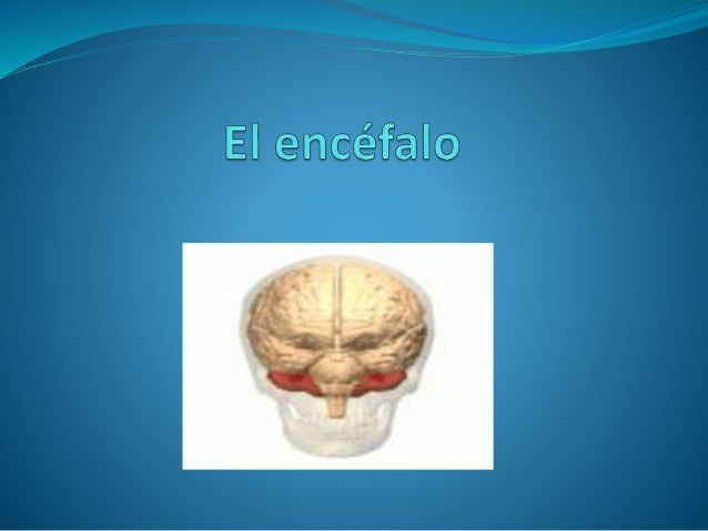 El Encéfalo   Parte del sistema nervioso central situada dentro de la  cavidad craneal. Está envuelta por las meninges, q...