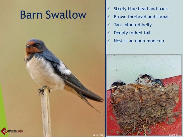 Encouraging Swifts And Swallows On The Organic Farm