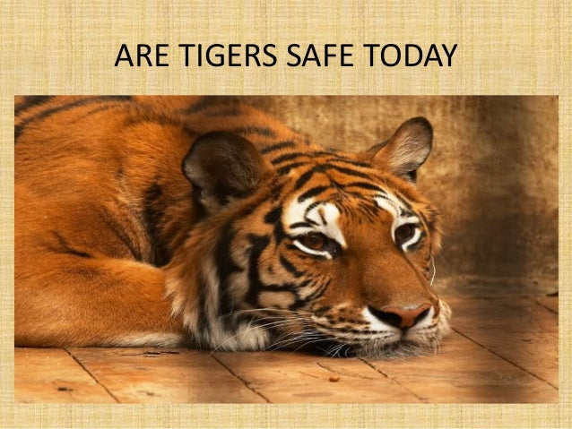ARE TIGERS SAFE TODAY