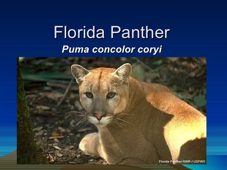 Florida Panther Puma concolor coryi