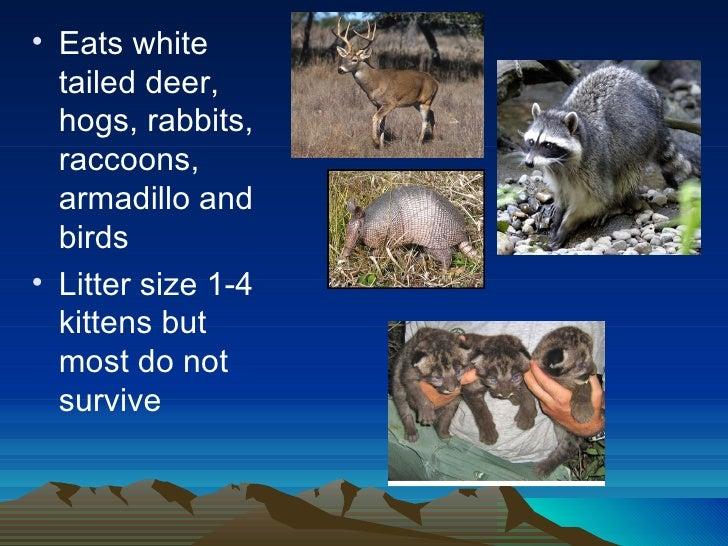 Endangered Species Presentation: Florida Panther