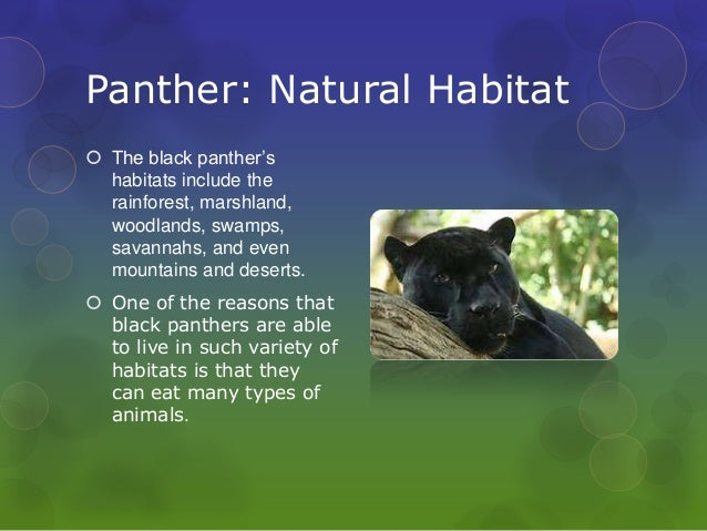 panther habitat map with Endangered Animals Panther on Czarna Pantera Mity I Fakty in addition  besides Facts About Snow Leopards furthermore Black Panther Uncategorized Presentation ZIxJfKU8a0 together with Endangered Animals Panther.