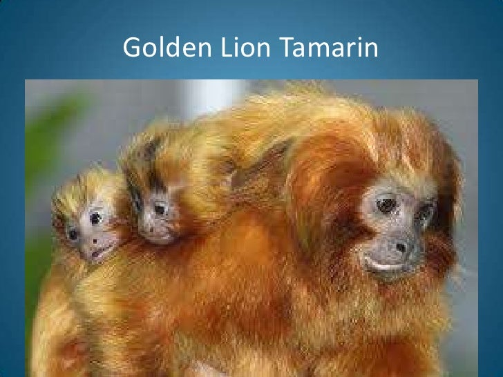 golden lion tamarin essay A striking species, golden lion tamarins are small social south america primates  with a magnificent reddish-gold coat and a long, backswept mane once down.