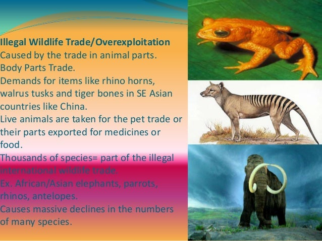 Illegal Wildlife Trade/Overexploitation Caused by the trade in animal parts. Body Parts Trade. Demands for items like rhin...