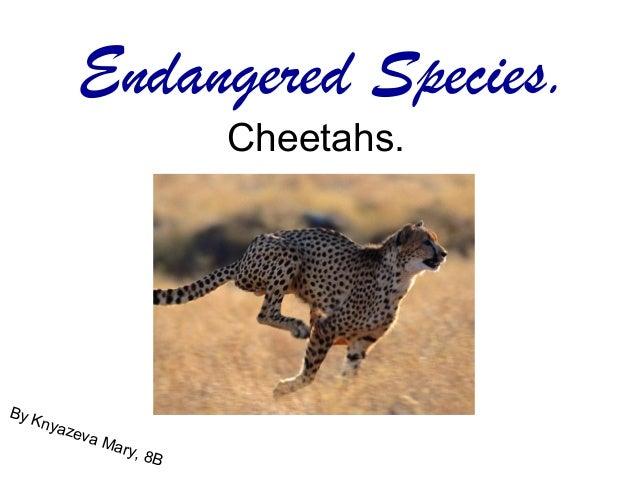 Endangered Species.                            Cheetahs.By K    nyaz         eva               Mar                  y,   8B