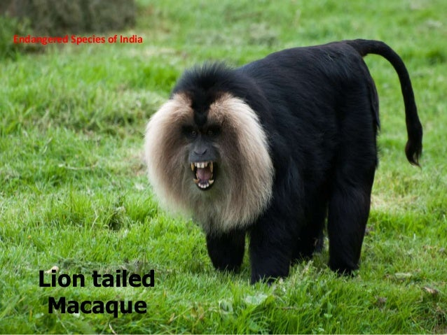 endangered species of india Scientific name: trachypithecus johnii description: the nilgiri langur is a species of primate found in nilgiri hills of the western ghats in south india this species of monkey has various common names like 'black leaf monkey', 'indian hooded leaf monkey' 'hooded leaf.