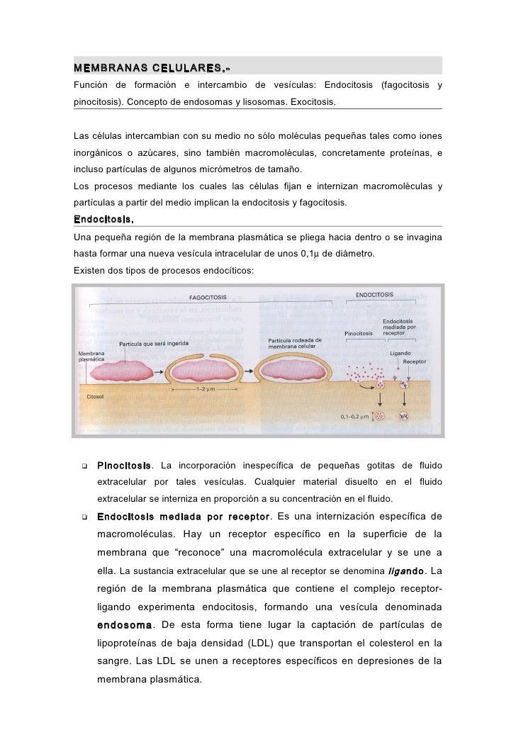 MEMBRANAS CELULARES.-Función de formación e intercambio de vesículas: Endocitosis (fagocitosis ypinocitosis). Concepto de ...