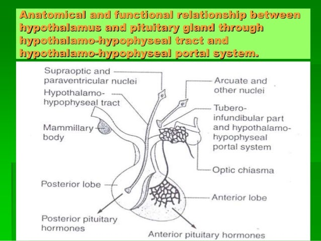 Hypothalamus & pituitary gland ppt video online download.