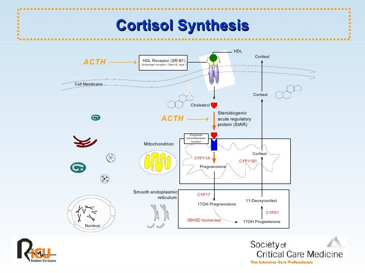 Cortisol Synthesis Pictures to Pin on Pinterest - PinsDaddy